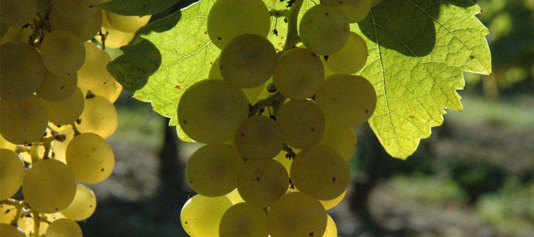 Cépage de raisin blanc du vignoble du Domaine du Siorac