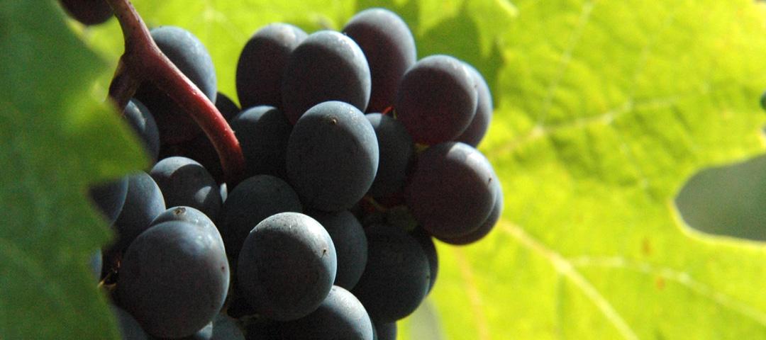Cépage de raisin rouge du vignoble du Domaine du Siorac
