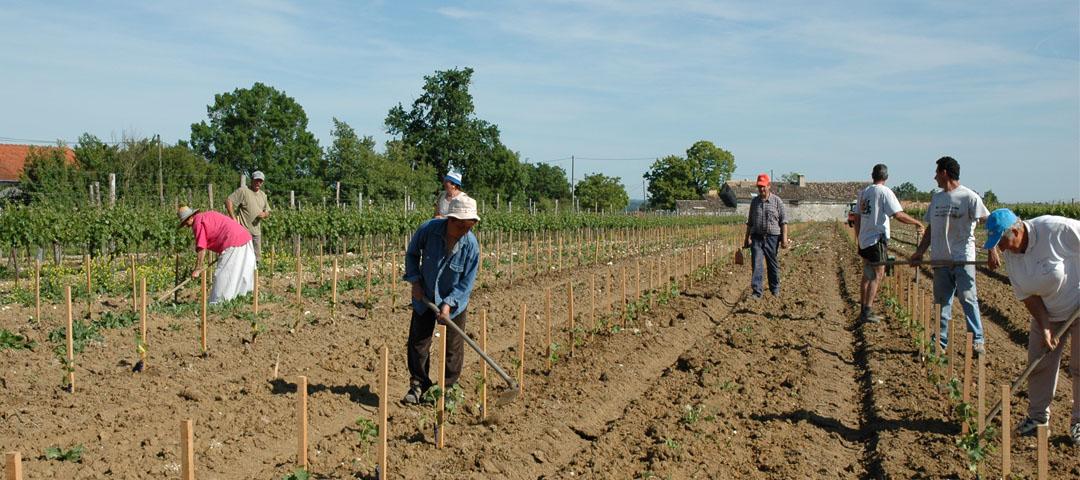Plantation d'une vigne sur le vignoble argilo-calcaire du Domaine du Siorac