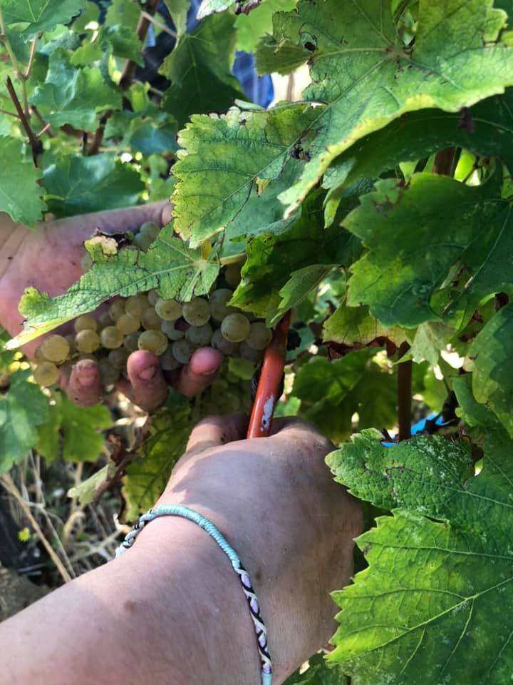 vendanges-manuelles-blancs-2020