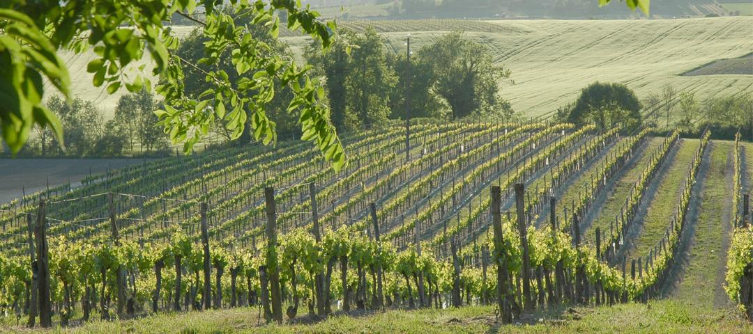 Vue en été du vignoble du Domaine du Siorac au sud de Bergerac