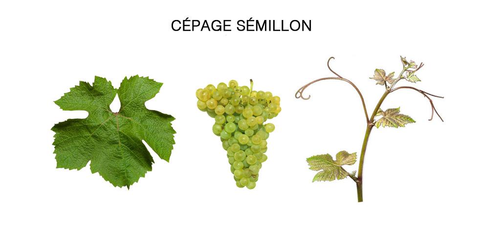cepage-semillon